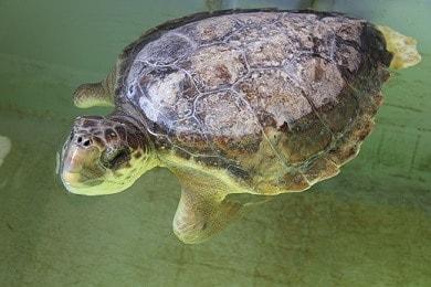 La tartaruga Franklin del Centro di recupero delle tararughe marine di Riccione