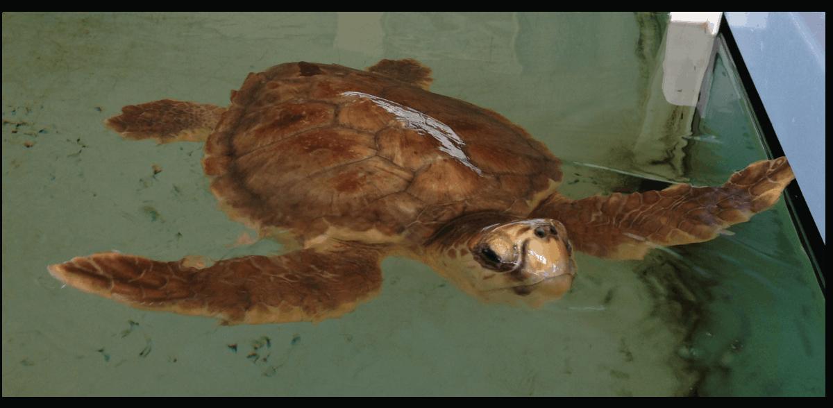 A Riccione un' oasi per le tartarughe marine