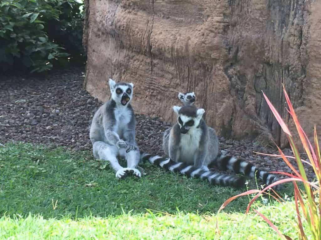 I Lemuri del Madacascar al bioparco Zoom